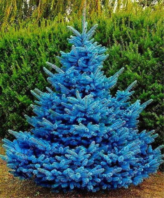 20 قطعة/شجرة التنوب شجرة بونساي المنزل حديقة مصنع الخضرة كولورادو الأزرق شجرة التنوب شجرة فناء المزارعون