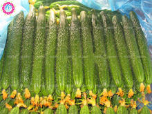 200pcs/ cucumber seeds ORZEL extremely early, Polish variety, for open soil growing seeds vegetables for home garden supplies