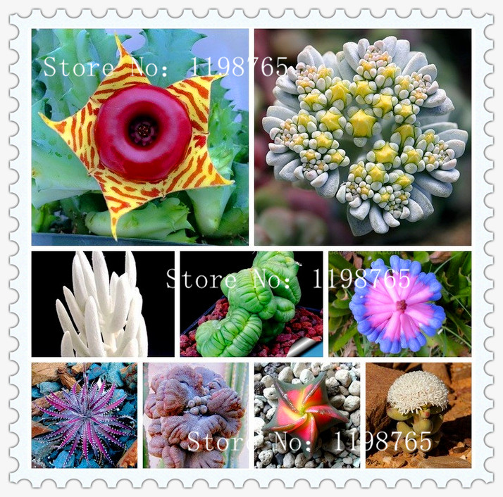 Hot Sale!100pcs/Lot 99 Kinds to choose Lithops Seeds Succulents Seeds Pseudotruncatella Office Bonsai Flower Seeds