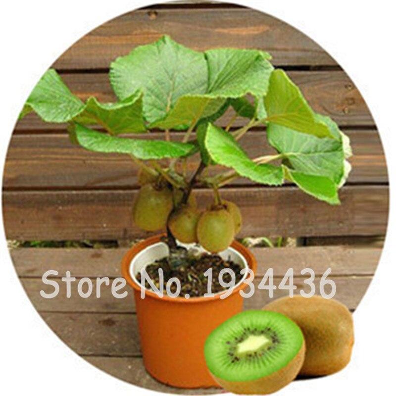 200-Stck. Bonsai bunte Kiwi Gemüse und Obst köstliche Actinidia Topfpflanze für Hausgarten Pflanzen beste Geschenk für Frau
