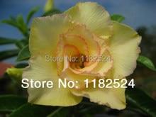20 семена — свежий редкие » Maithong » Adenium Obesum семена — бонсай семена