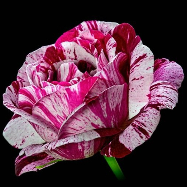 Online Buy Wholesale Black Dragon Rose From China Black