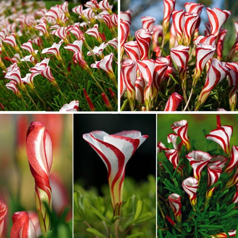 Кислица лишай цветы семена в мире редких цветов для сада домой посадки цветов semillas, 20 семян / мешок