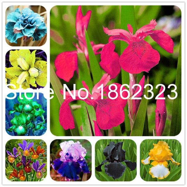 Best Sellingflower Plants Iris Plantasperennial Garden Flower