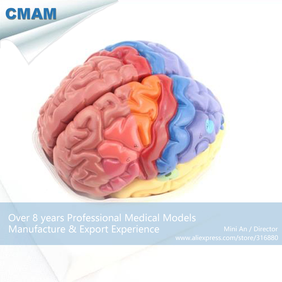12409 CMAM BRAIN11 Color Functional Anatomy Regional Brain Model ...