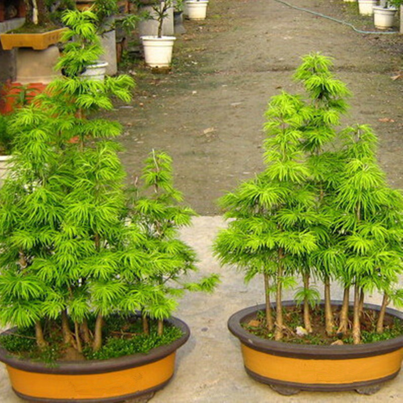 pseudolarix seeds money pine tree seed bonsai landscape plant seed diy home garden bonsai - Trees For Home Garden