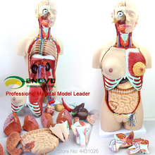 ENOVO Anatomical model of anatomical system 85CM human. organ