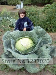 200/bag Rare Giant Russian Cabbage seeds, vegetable seeds 95%+ germination, High-Quality Vegetable for home garden