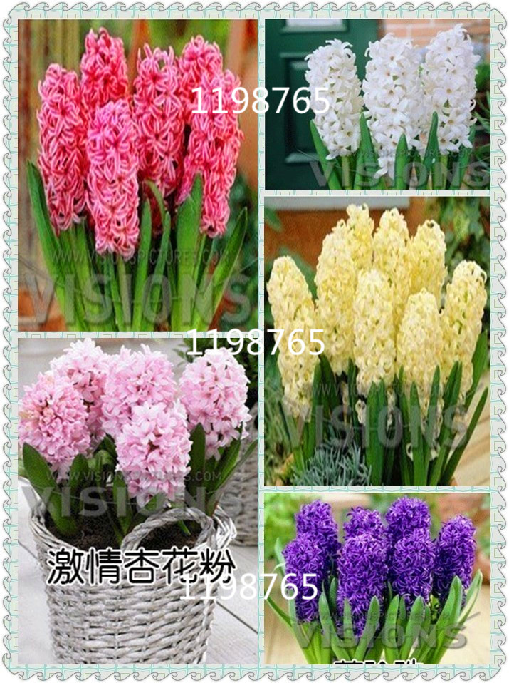 Online Get Cheap Grow Hyacinth Alibaba Group
