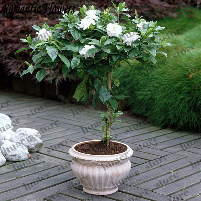 30 Pcs Jasmine Bonsai Beautiful Jasminum Sambac Flower Bonsai,Planting Simple For Home Garden
