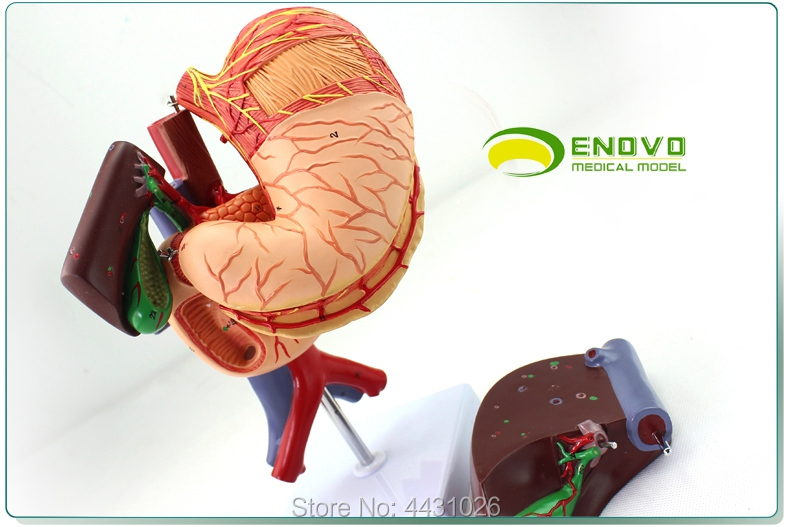 ENOVO Anatomy of the digestive system of the pancreaticoduodenal model of the human stomach