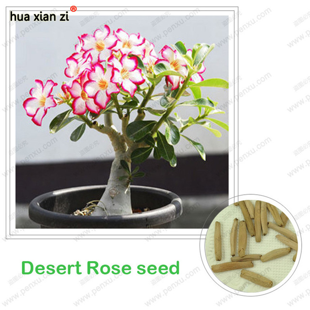 Desert Rose seeds,potted flowers seeds,Adenium Obesum color optional 100% true seed in-kind shooting,1 pcs/bag
