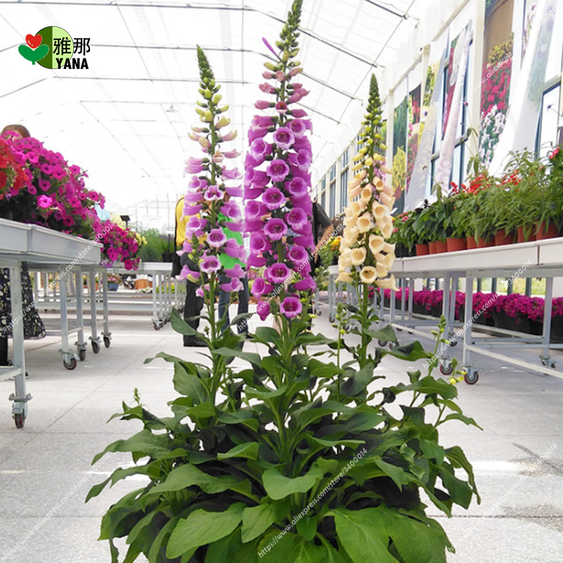 Golden Bell Flower Foxglove flower bonsai potted plants 30pcs/bag-in Bonsai from Home & Garden