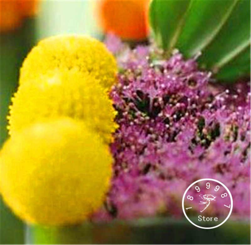 קידום אובדן! 100 יח'\חבילה ירושה Craspedia Globosa מקל תיפוף רב שנתי בילי כפתורים גן צהוב פרח בונסאי