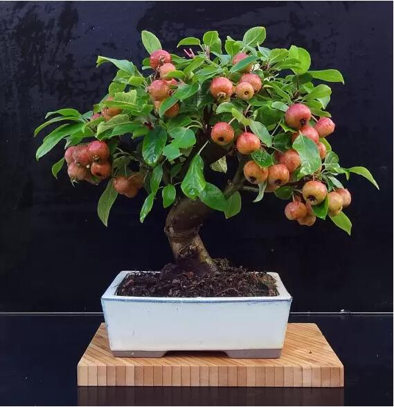 US $0 37 58% OFF|30pcs/bag apple fruit plant Green healthy bonsai tree  indoor for home garden-in Bonsai from Home & Garden on Aliexpress com |  Alibaba