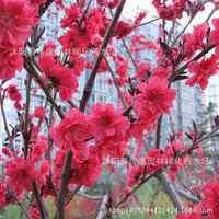 Authentique carthame plante arbres violet feuille pêche rose plante feuilles feuille Tau plante taux de germination 200 g/paquet