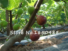 100 Sweet Honey FIG seeds – Fragrant – King Figs Courtyard Sementes De Flores Fig Tree