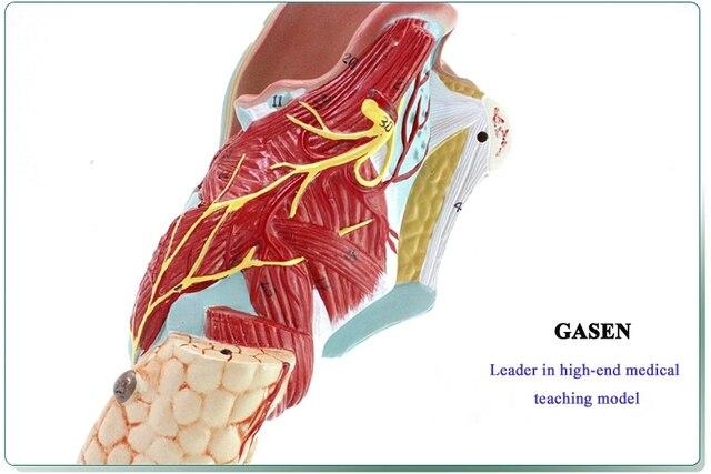 MEDICAL OF HUMAN ANATOMY THROAT LARYNGEAL MUSCLES LARYNGEAL ...