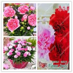 Бонсай Гвоздика многолетний цветок Высокая скорость выживания мать цветок для домашнего сада f
