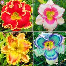 20PCS Daylily Flowers plant Rare Colour Hybrid Hemerocallis plant New Day Lily plant Indoor Bonsai plant Garden Decoration