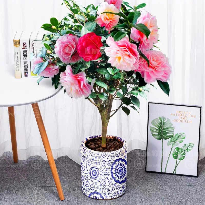 50 יח'\שקית קמליה בונסאי צמחים נפוצה קמליה פרחים רב שנתי מקורה או חיצוני עציץ בית גן קמליה japonica