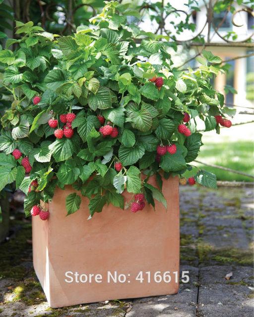 Aliexpresscom Buy BrazelBerries Raspberry Shortcake Seeds Home
