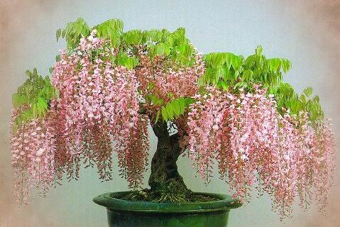 Free Shipping, 20pcs/bag Rare Gold Mini Bonsai Wisteria Tree Bonsais Indoor Ornamental Plants