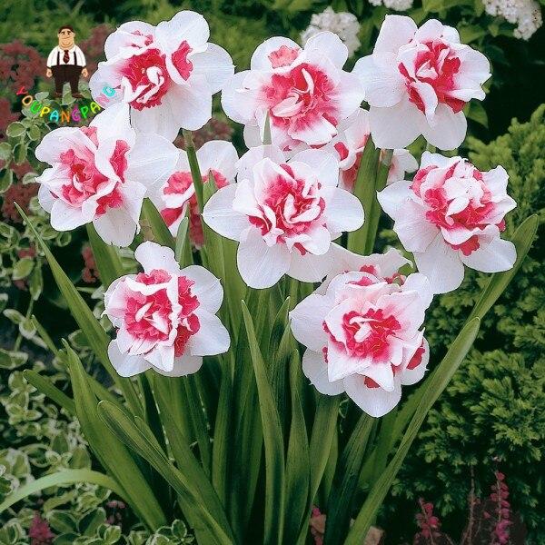 100 pz Bonsai di Piante Acquatiche Doppio Petali di Rosa Rosa Narcisi impianto per il Giardino di Casa