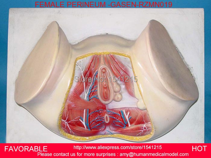 LIFE SIZE ANATOMY AND BIOLOGY EDUCATION FEMALE PERINEUM,MALE PERINEUM ANATOMY MODEL, ANATOMY PERINEUM MODEL GASEN-RZMN019