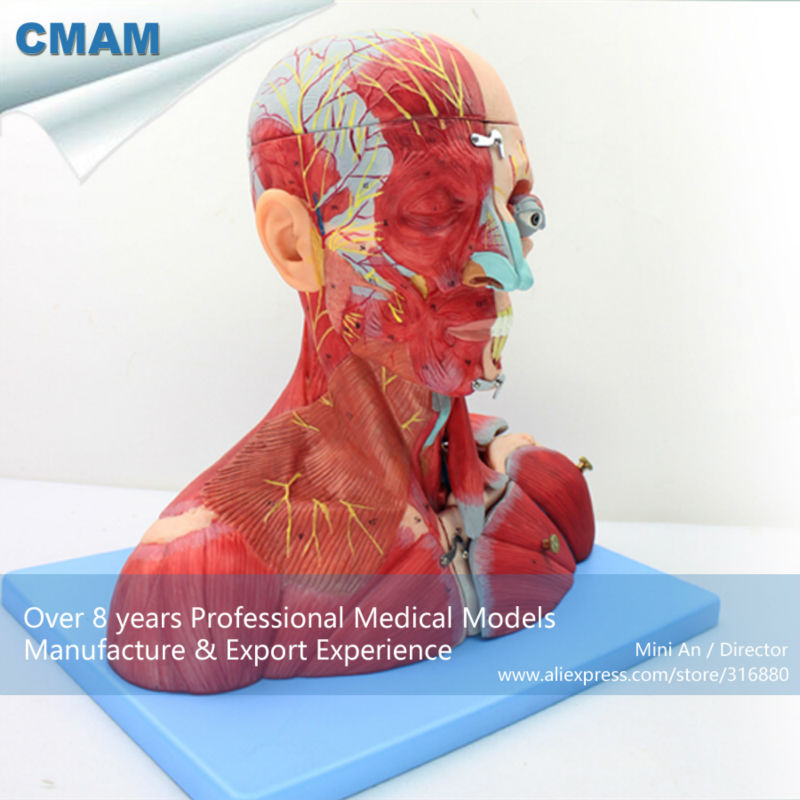 12030 CMAM-MUSCLE07 Head and Neck with Vessels,Nerves and Brain(Medical Model,Anatomical Model) iso detailed anatomical model of human head with vessels and nerves