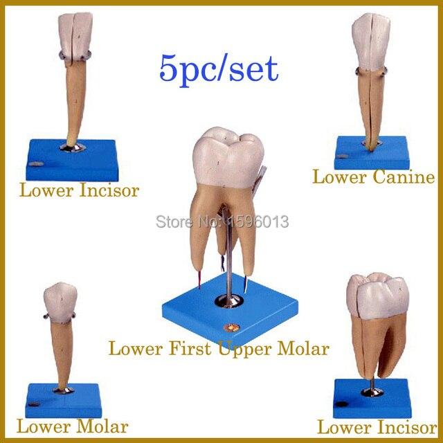 Dientes humanos modelo 5 unids, incisivos dientes, dientes caninos y ...