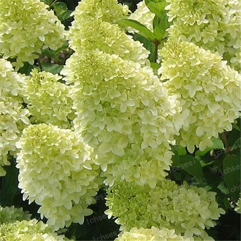Image 5 - 20pcs/Cone hydrangea  bonsai perennial flower flores for wedding party plant for home and garden-in Bonsai from Home & Garden