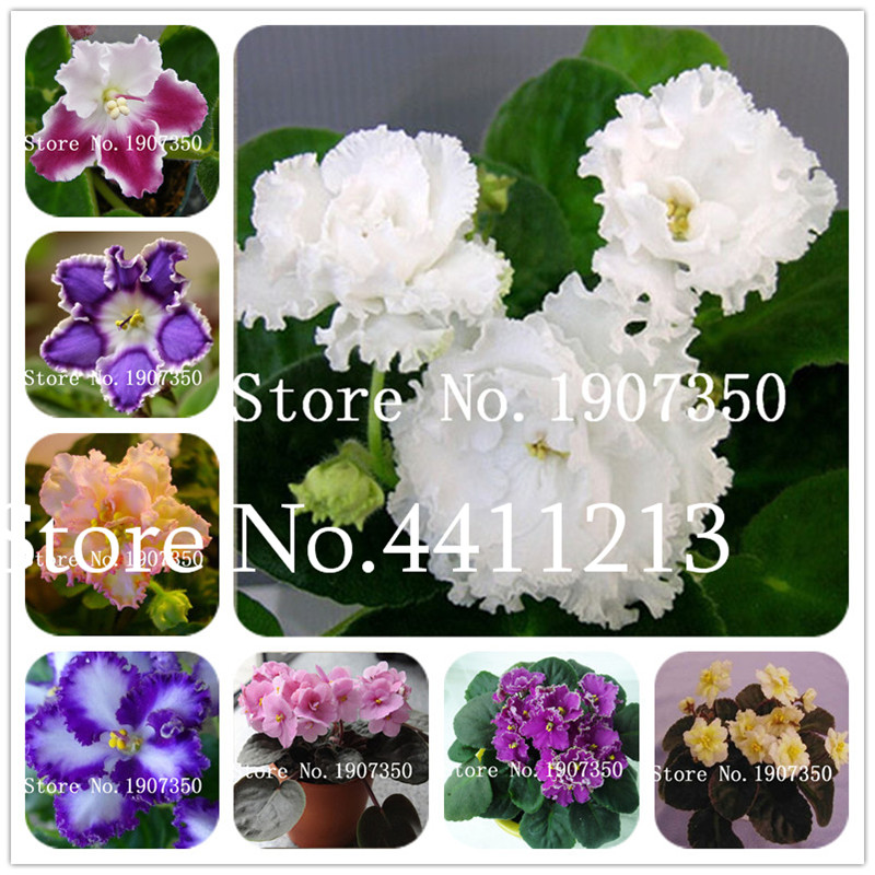 120 Plants Exotic African Violet Plants Mixed Colors Flower Bonsai Saintpaulia Ionantha Garden Bonsai Plant Pot Perennial Herb