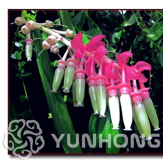 Flower Seeds Rich Bonsai Ardisia Crenata Iron Parasol Big Luo Umbrella Red Parasol Bonsai 50PCS / Bag Bonsai Tree Decor