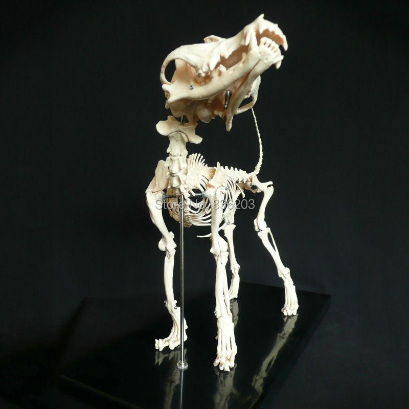 Perro/canina esqueleto cráneo lteeth cerebro en venta médica ...