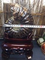 5.2kg Natural conch fossil specimens of Madagascar Home Decoration Fengshui + Wood Base