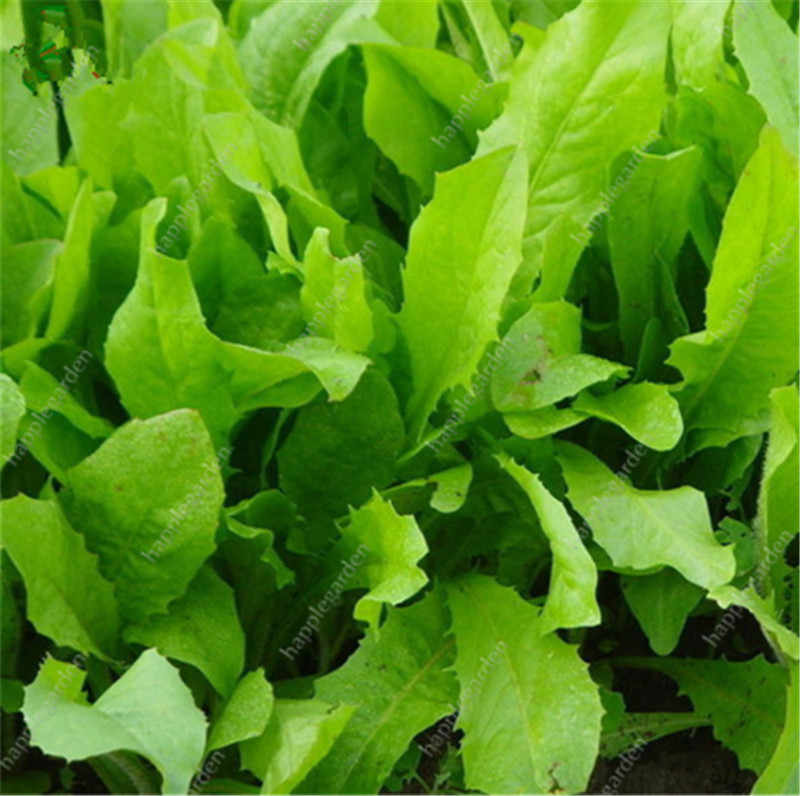 Green Leaf Lettuce Rare Vegetable Plant 300 Pcs Non-Gmo Healthy Juicy Food Good Taste Great Salad Choice Bonsai Home Garden
