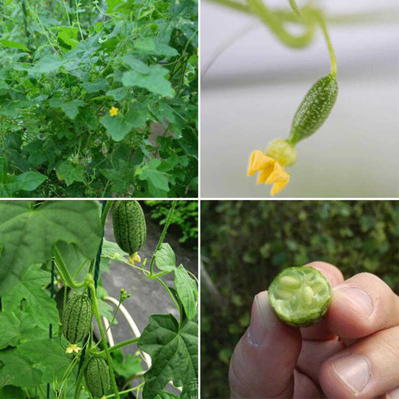 10pcs/Package Sale Mini Watermelon Real Outdoor Plant Very Simple Rough Bonsai Potted Balcony Vegetable Easy To Grow