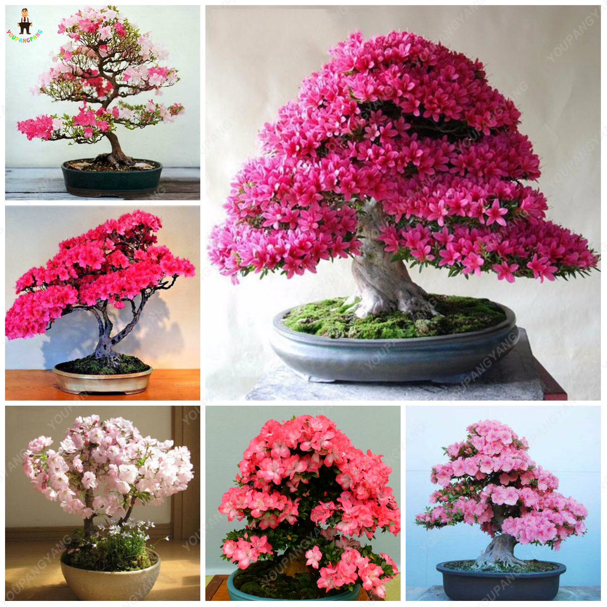 10pcs Rare Sakura Bonsai Flowers Cherry Blossoms Tree Plants For Home Garden Decoration Buy At The Price Of 0 88 In Aliexpress Com Imall Com