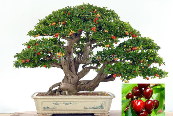 11.11 promotion today Upscale Indoor Plants, Need Fruit Potted, Taiwan Mini Pearl Cherry Seeds 20 Piece Bonsai Tree Seeds