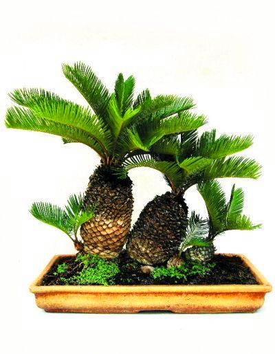 sago palm planting instructions