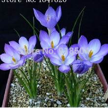 AAA 50pcs / bag ,Crocus sativus seeds , potted seed, flower seed, variety complete, the budding rate 95%, (Mixed colors)