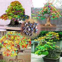 Exclusive sales 100pcs rainbow maple seeds,rare Bonsai Tree seeds ,send gift as sakura seeds