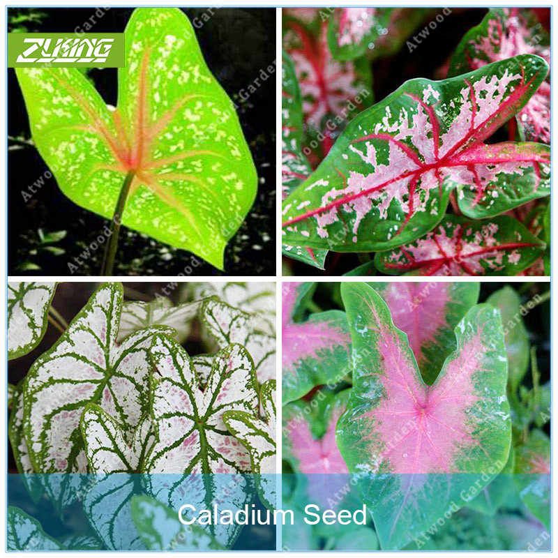 ZLKING 100pcs Bella Caladium Bicolor Bonsai Pieno di Vitalità Piante In Vaso per Interni Decorazione Sempreverde Perenne