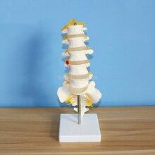 Vértebras lombares anatômicas humanas modelo vértebra caudal anatomia material de ensino médico 15.5x11.5x7.5cm