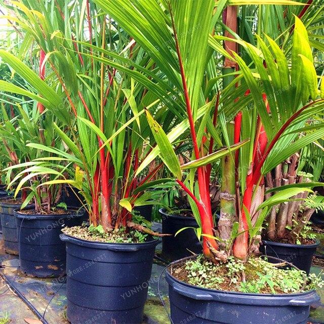 Ruj Palm Cyrtostachys Renda Ağacı Kırmızı Sızdırmazlık Balmumu Hurma bonsai saksısı Bitki Ev Bahçe 10 adet/torba