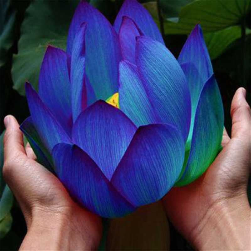 10 pcs Aquatic plants flower bowl lotus Water Lilies lotus 100 genuine rainbow in Bonsai from Home Garden