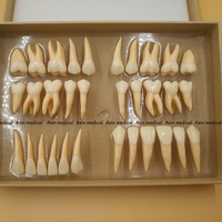 High Quality 2.5 times 32 pcs adult permanent teeth model Dental gift Communication Tooth Models Odontologia