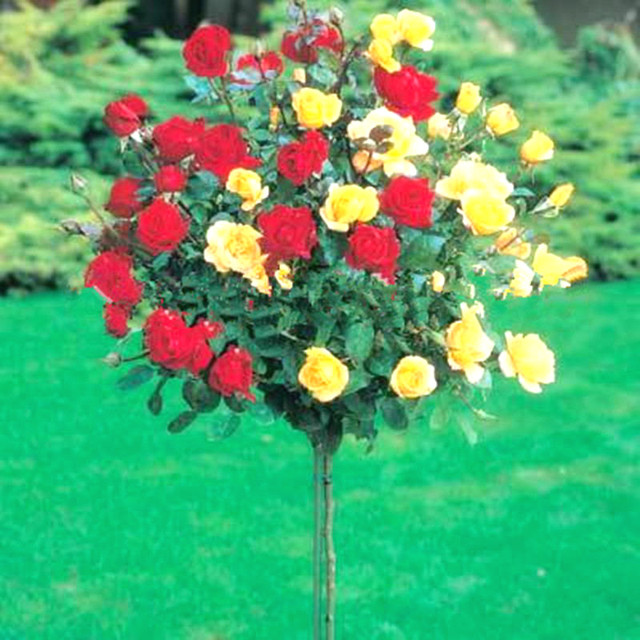 50pcs Rare Flower Rose Tree bonsai Diy Home Garden Potted Balcony & Yard Flowers Plant Four Seasons Sowing The bonsai Funny Gift