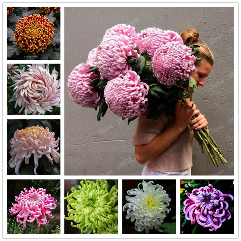 chinese mum flores rare perennial flower plantas indoor bonsai plants chrysanthemum plant for home garden mixed color 200pcsb in bonsai from home - Garden Mum
